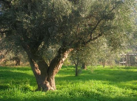 coroneiki olive tree