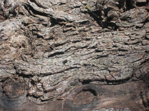 olive tree wood