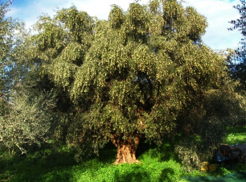 over 100 years old olive tree before harvest